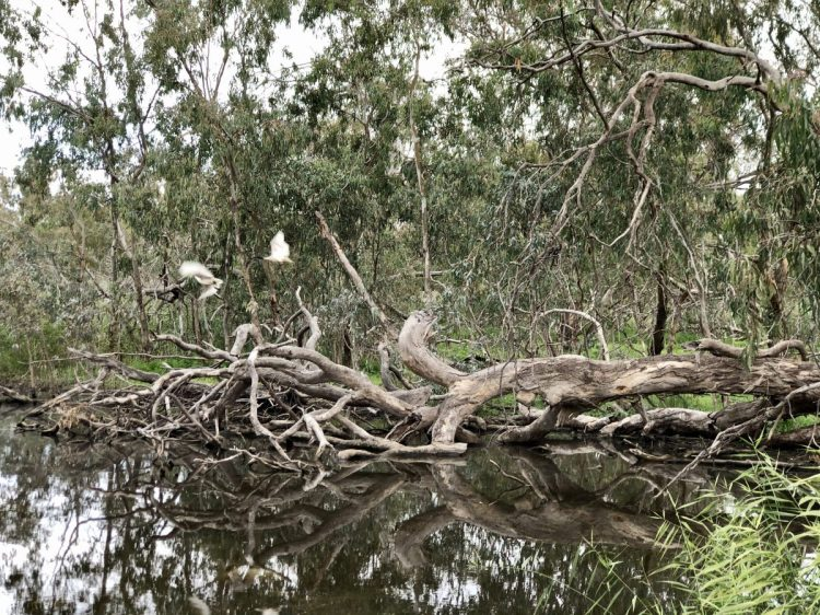 Australian white ibis roosting on the deeper channels