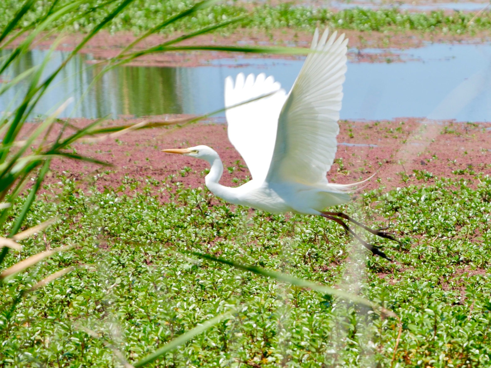 Intermediate egret on Willancorah wetland in the Macquarie Marshes